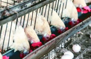 減少格子籠雞 讓蛋雞自由