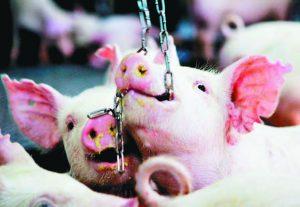 關狹欄的豬
