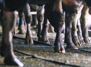 戴計步器的牛