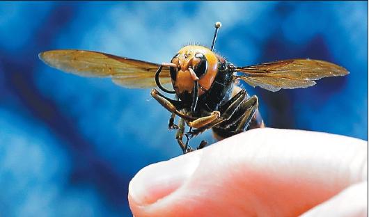 殺人蜂 殺蜜蜂