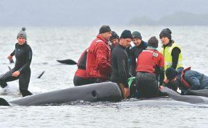 澳洲領航鯨擱淺 470隻待援