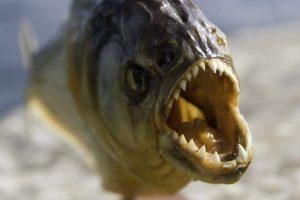 食人魚怕食魚人