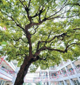 曹公國小148歲茄苳 全國最美校樹
